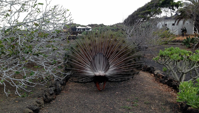 Un pavo real pavoneándose en Las Pardelas Park de Órzola, Lanzarote
