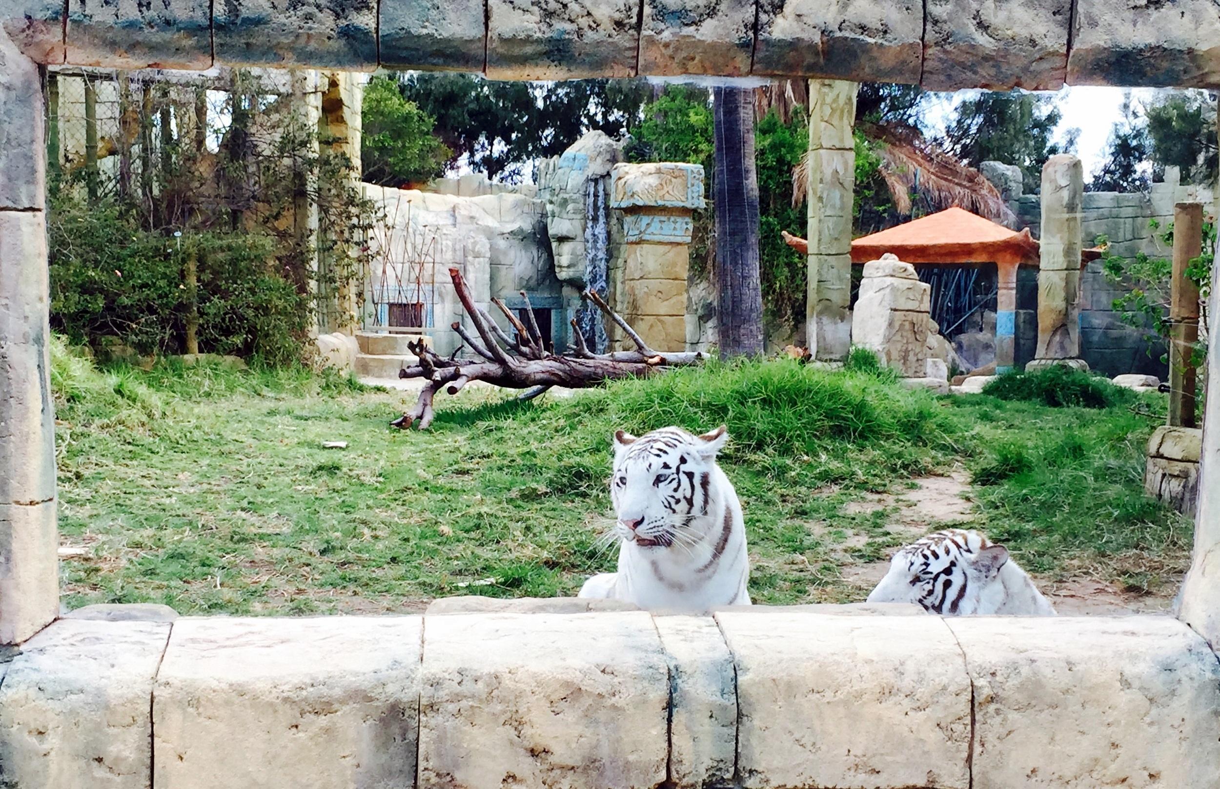 Tigres de Bengala en Rancho Texas Park Lanzarote
